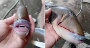 Tiger fish photo humans like fish with teeth and lips